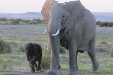 elephant baby rescued kenya