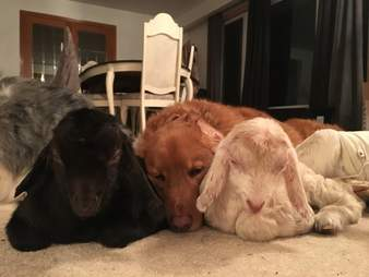 Dog snuggling baby goats at sanctuary