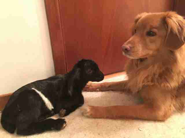 Baby goat meeting Nova Scotia duck tolling retriever