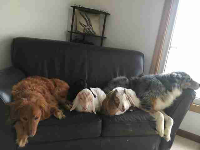 Dogs snuggling with goats on a couch
