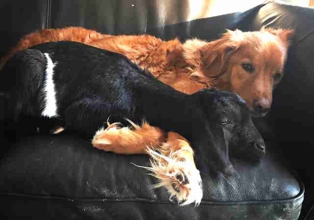 Goat cuddling Nova Scotia duck tolling retriever