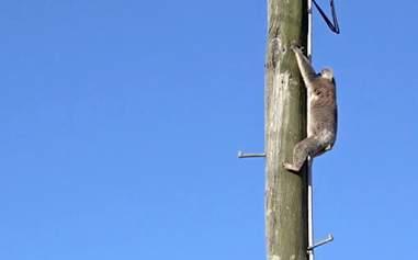 Koala up power pole in queensland