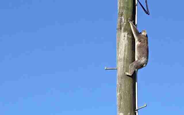 Koala up power pole in queensland