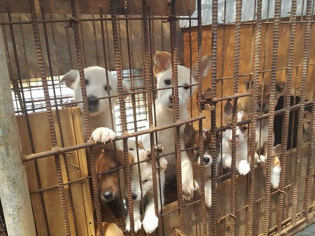 puppies dog meat farm south korea