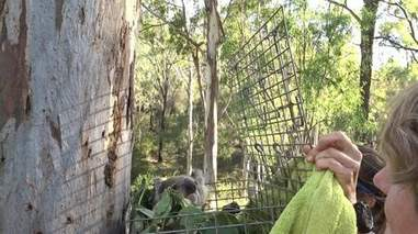 Wild koala rescued from pole being released back into forest