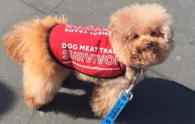 dog meat trade south korea poodle