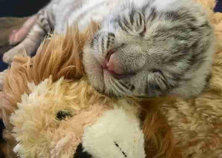 Kylo Ren the tiger snuggles a lion stuffed toy