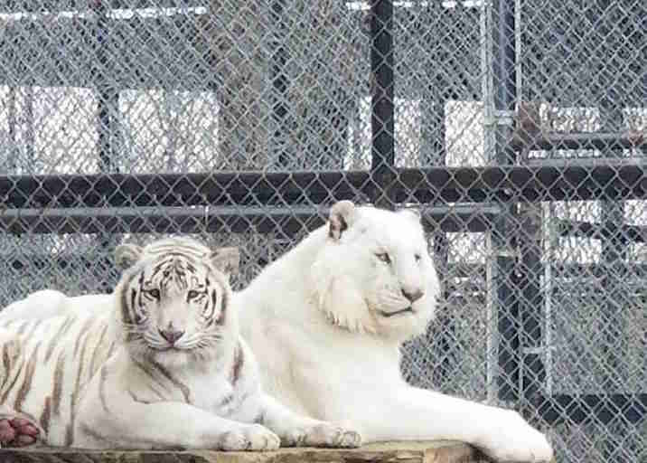white tiger siblings Zahara and Assad