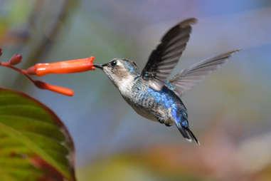 A bee hummingbird, the world's smallest bird