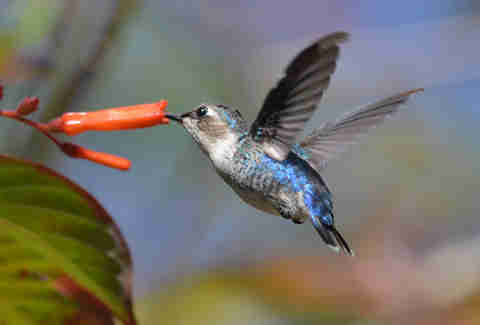 A bee hummingbird, the world's smallest bird