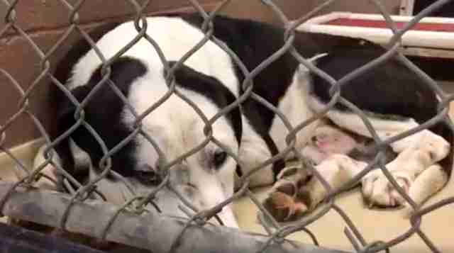 Sad looking dog lying in kennel at shelter