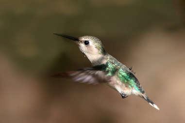 A female bee hummingbird in Cuba