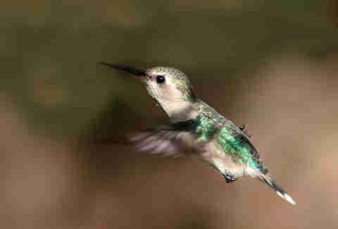A female bee hummingbird in Cuba