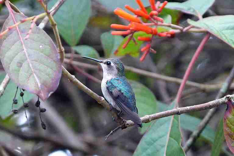 A bee hummingbird perched on a branch