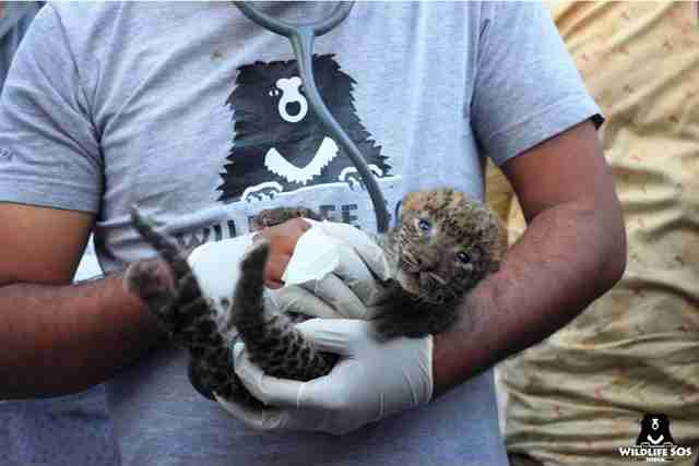 Baby leopard found in sugar cane field in India