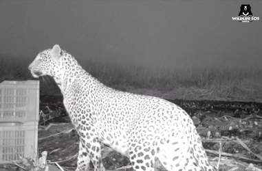 Mom leopard reuniting with her cubs in India