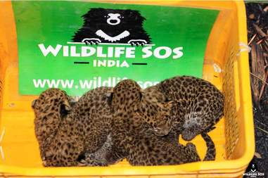 Baby leopards found in sugar cane field in India