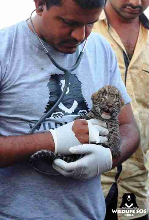 Baby leopard being rescued in India