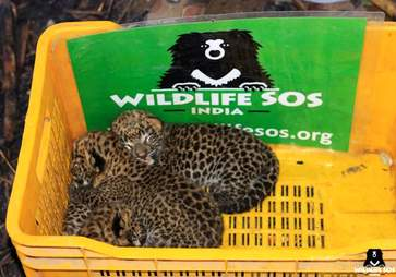 Baby leopards saved in India