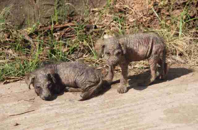 Hairless puppies living on the street