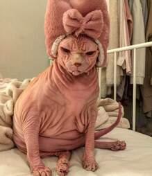 naked cat sphynx switzerland xherdan