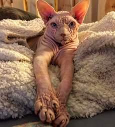 sphynx cat switzerland