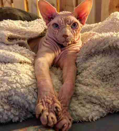 sphynx cat switzerland