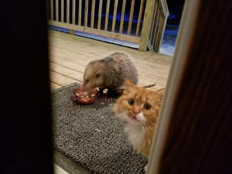 opossum stray cat minnesota