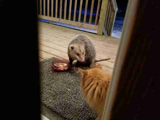 cat opossum friends minnesota