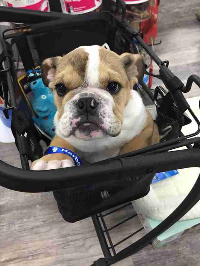 special needs bulldog works at vet practice