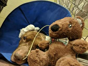 Sick dog at vet lying next to teddy bear