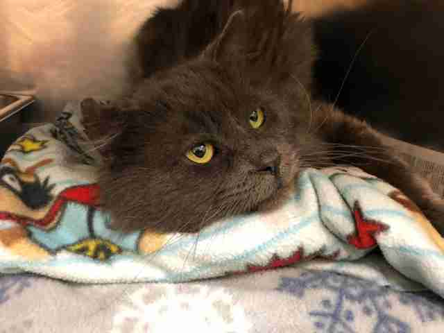 Cat recovering at Montana shelter after losing leg in hunter's trap