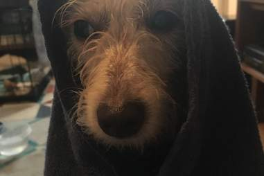 Darcy the terrier mix after a bath