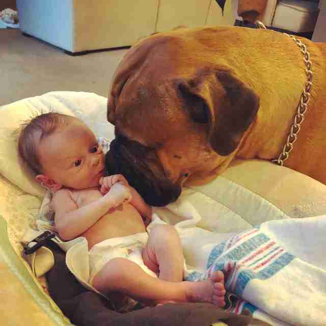 Bull mastiff watching over baby