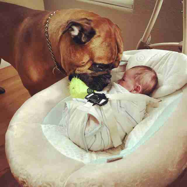 Bull mastiff brings favorite toy to crying baby
