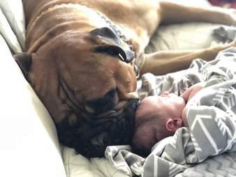Bull mastiff snuggling with baby