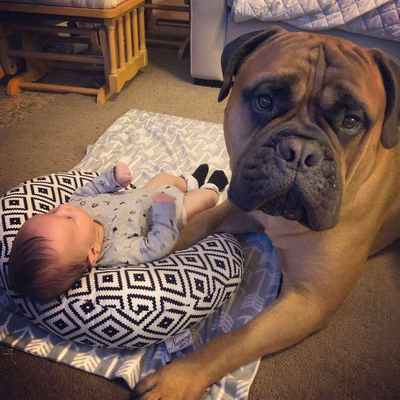 Bull mastiff watching over newborn baby