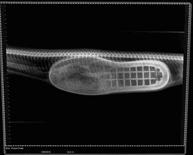 Shoe inside a snake's belly