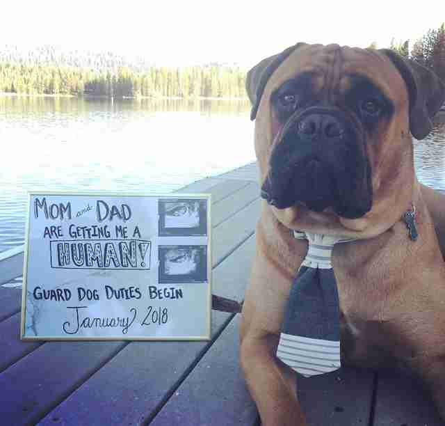 Bull mastiff announcing his humans are expecting a baby