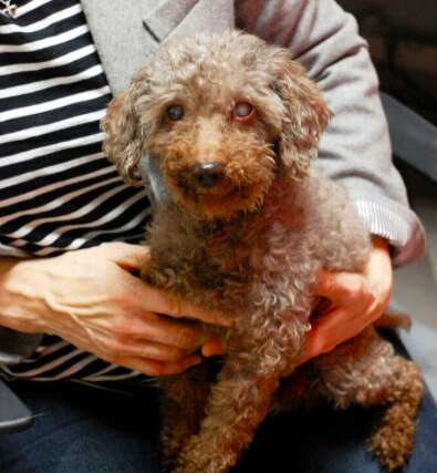 senior poodle rescue adopted