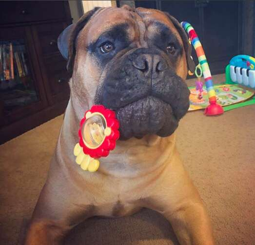 Bull mastiff playing with baby toys