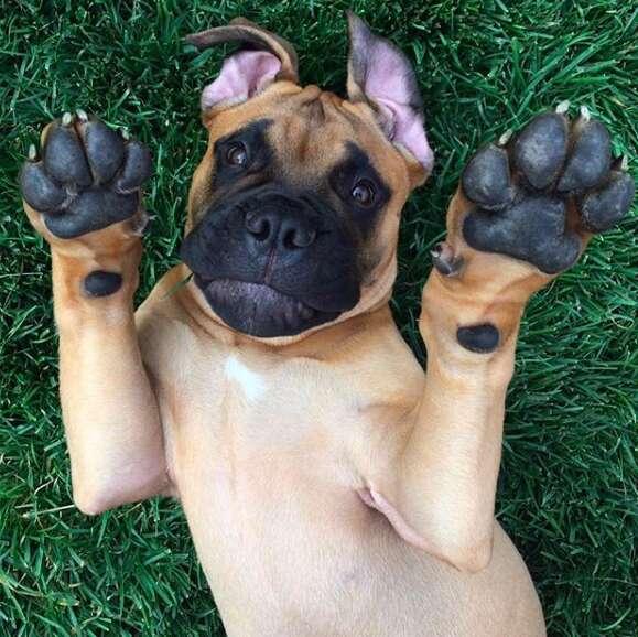 Bull mastiff Brutus who lives in California