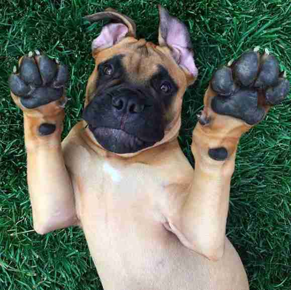 Bull mastiff Brutus who lives in California