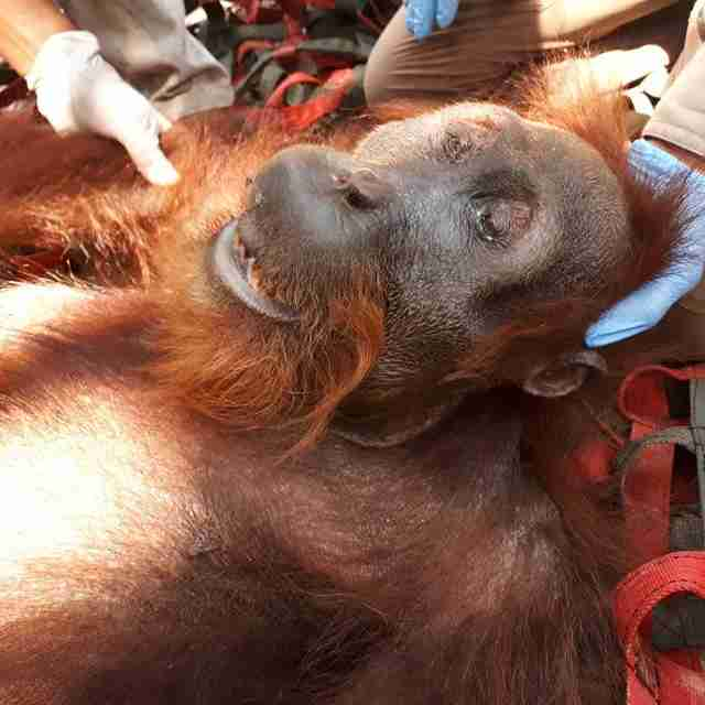 Sedated orangutan lying on net