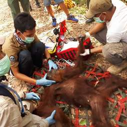 Sedated orangutan being cared for by vets