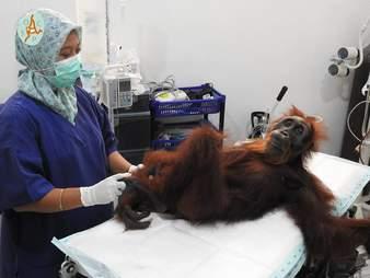 Orangutan being treated at medical center