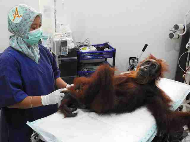 Orangutan being treated at medical center