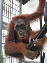 Orangutan inside quarantine cage