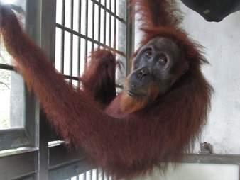 Orangutan inside quarantine enclosure
