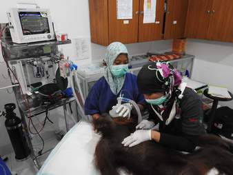 Orangutan being treated in medical room